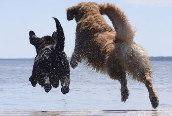 dock-diving-dogs-from-rear-resized