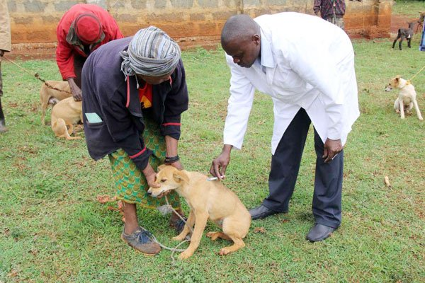A veterinary officer administers a rabies vaccine to a dog. Researchers in Tanzania can now determine if a dog was vaccinated against rabies using a mobile phone camera image.